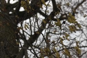 Alder Catkins (Alnus glutinosa)