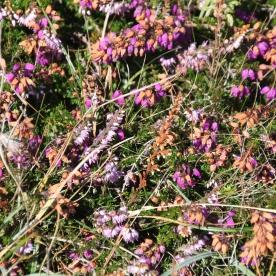 Bell heather(Erica cinerea)