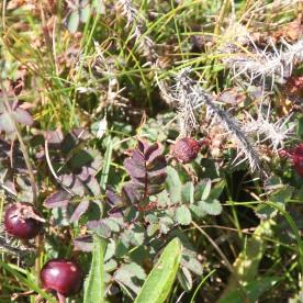 Burnet Rose (Pimpinella saxifraga)