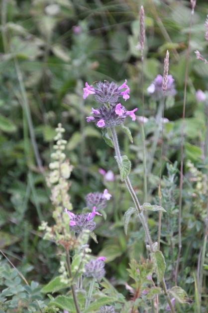 Betony (Stachys officinalis)