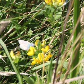 Bird's-foot Trefoil (Lotus corniculatus) with a Common Blue Butterfly