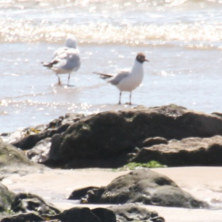Black-headed Gull (Chroicoce-phalus ridibundus)