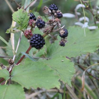 Brambles (Blackberries) (Rubus fructicosus)