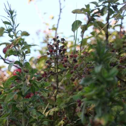 Blackberries, Rose-hips and Crab Apples