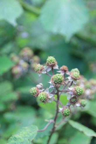 Brambles (Rubus fructicosus)