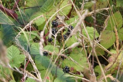 Brambles - fruit (Rubus fructicosus)