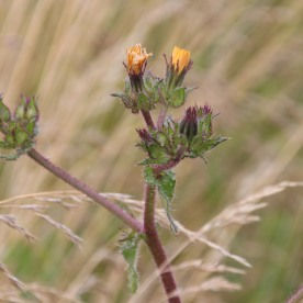 Bristly Oxtongue (Picris echiodes)