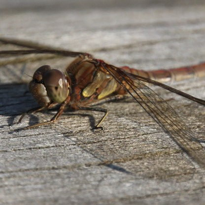Brown Hawker ( Dragonfly) (Aeshna grandis)