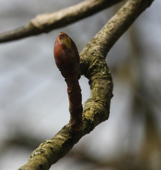 Swelling Bud