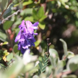 Bush Vetch (Vicia sepium)