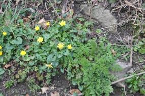 Lesser Celendine (Ranunculus ficaria)