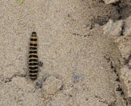 Cinnabar Moth caterpillar (Tyria jacobaeae)
