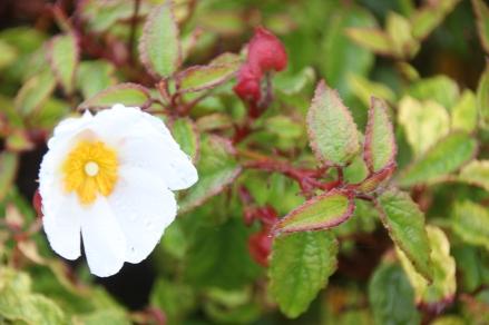 Rock Rose or Cistus (Cistus salviifolius)