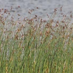 Sea Club Rush (Bolboschoenus maritimus)