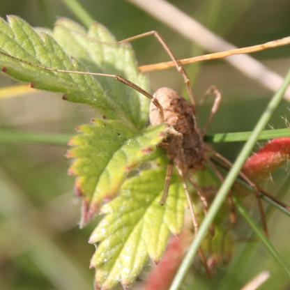 Cobweb Spider (Agelena labyrinthica)