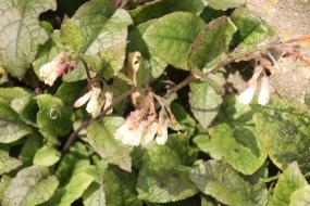 Soft Comfrey (Symphytum orientale)
