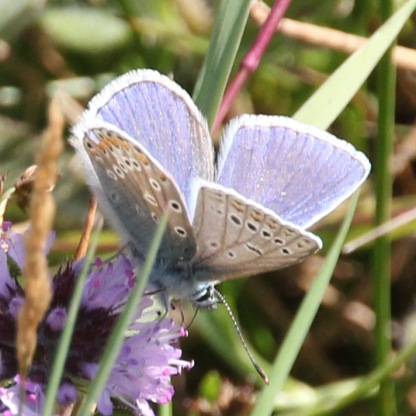 Male Common Blue (Polyommatus icarus)