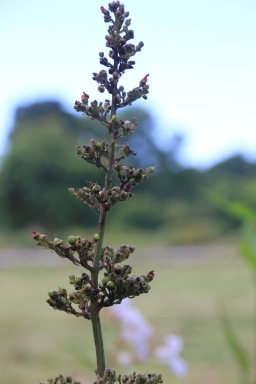 Common Figwort (Scrophularia nodosa)