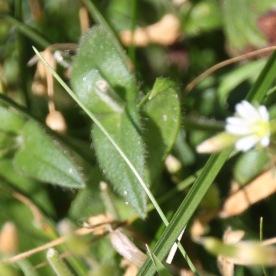 Common Mouse-ear (Cerastium fontanum)
