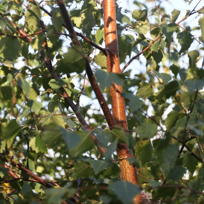 Copper Birch (Betula nigra)