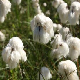 Cotton-grass (Eriophorum angustifolium)