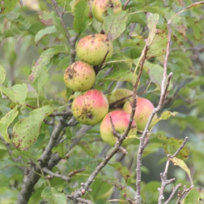 Crab Apple (apples) (Malus sylvestris)