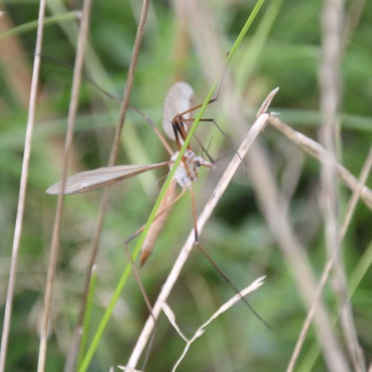 Daddy Long-legs or Crane fly (Tipula oleracea)