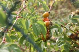 Dog Rose - berries (Rosa canina)