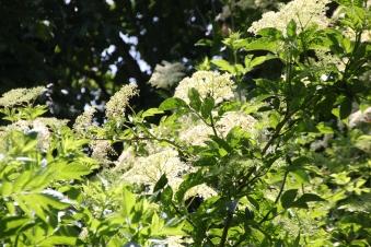 Elderflower (Sambucus niger)