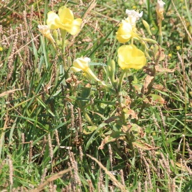 Evening Primrose (Oenothera erythrosepala)