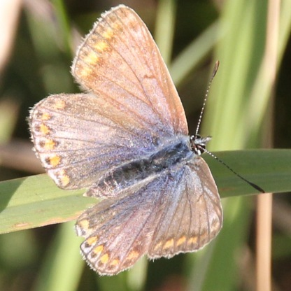 Female Common Blue (Polyommatus icarus)