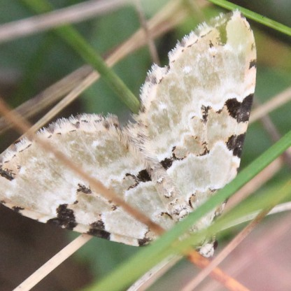 Garden Carpet Moth (Xanthorhoe fluctuata)