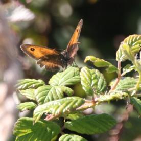 Gatekeeper (Maiola tithonius)