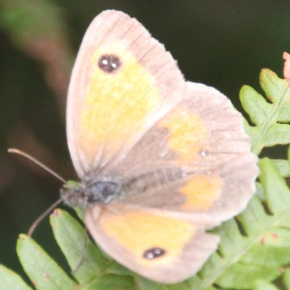 Gatekeeper (Maiola tithonius)