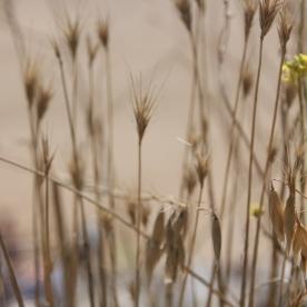 Barren Brome (Anisanthe sterilis)