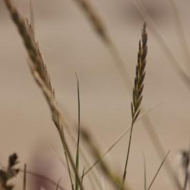 Perennial Rye-grass (Lolium perrene