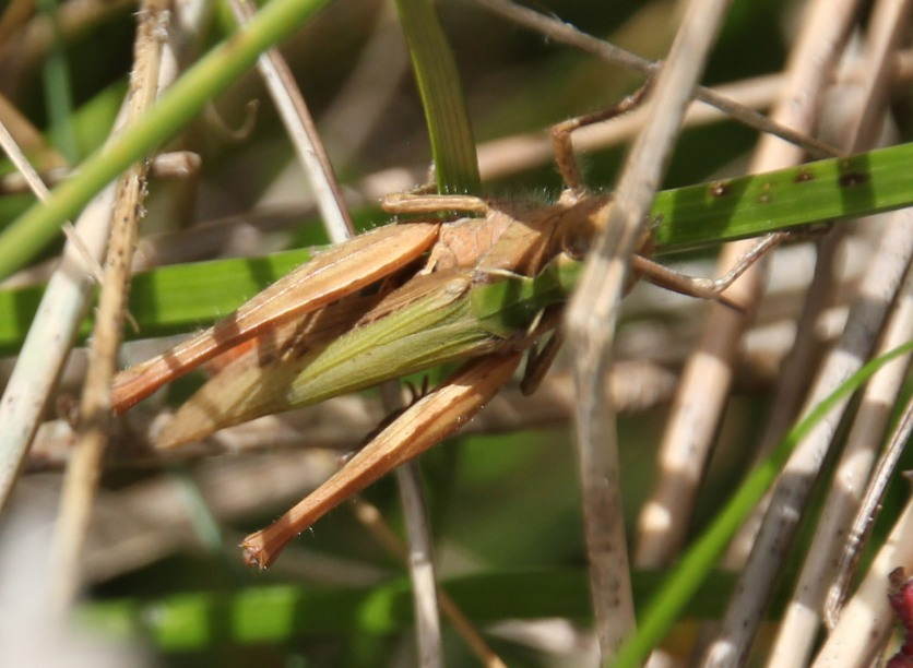 Green Grasshopper (Acrididae species)