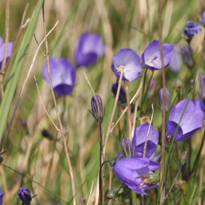 Harebells (Campanula rotundiflora)