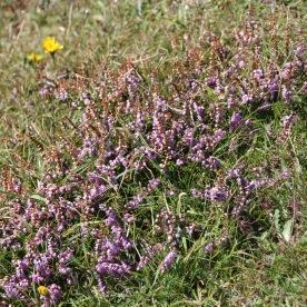 Common Heather (Calluna vulgaris)