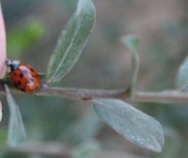 Ladybird (Coccinellidae species)