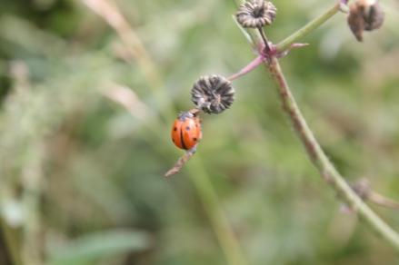 Ladybird (7 spot) (Coccinella septempunctata)