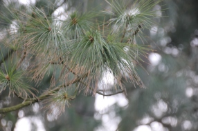 Pine (Pius species)
