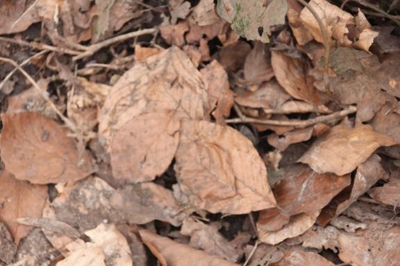 Beech leaf litter (Fagus sylvatica)