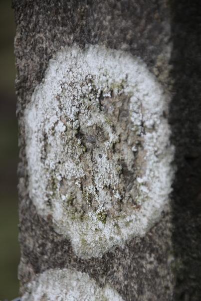 Lichen (Caloplaca teicholyta)