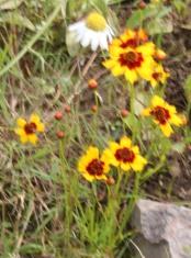 Marigolds (Tagetes tenuifolia)