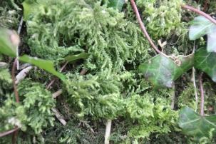 Silver Moss (Bryum argenteum)