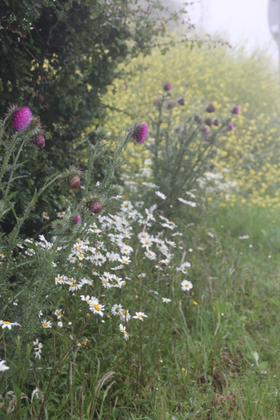 Thistles and Ox-eye Dasies