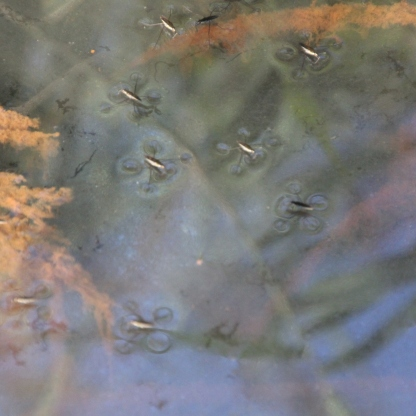 Pond Skaters (Gerris lactustris)