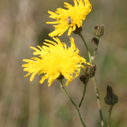 Prickly Sow Thistle (Sonchus asper)