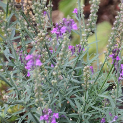Purple Toadflax (Linaria purpurea)